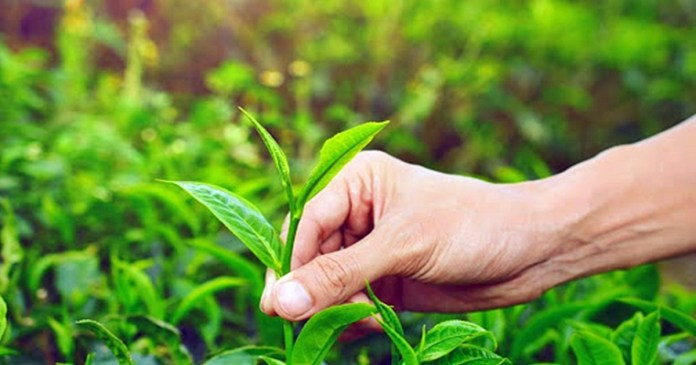 Tea-leaf extract will prevent cancer, according to research