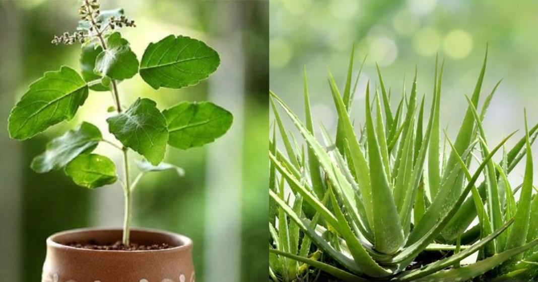 tulsi and aloe vera tree will increase oxygen in to the house naturally