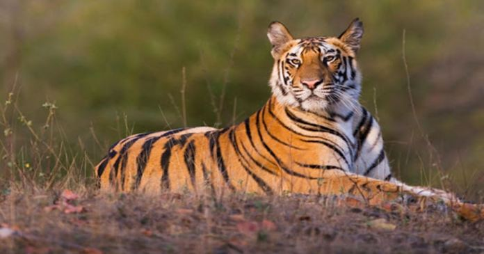 Bangladesh government has taken initiative to make artificial mangroves to increase the number of tigers in the Sundarbans