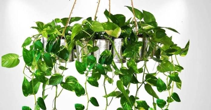Money plant bring back happiness