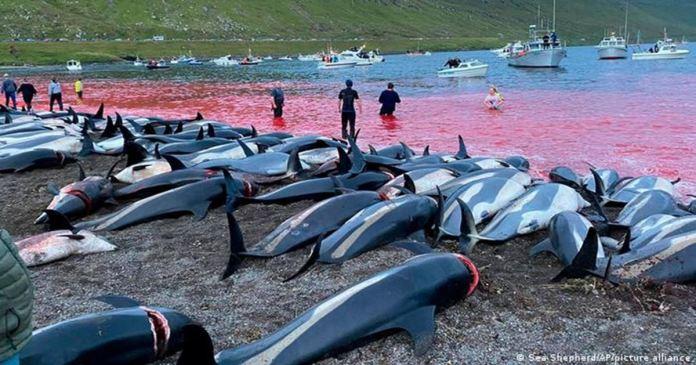 1400 Dolphins Were Killed in Faroe Islands