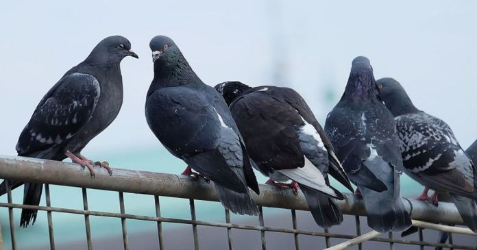 Millionaire pigeons, not just bank accounts, shops, land, cowsheds in the name of pigeons!
