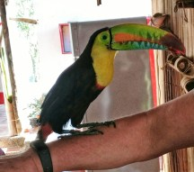 Tuki the rescue Toucan