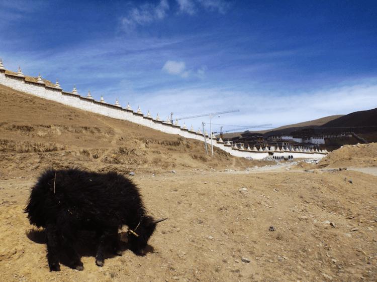 Yak no monastério de Litang no Tibete China