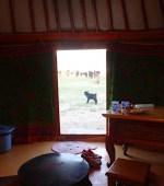 Goat in Mongolia