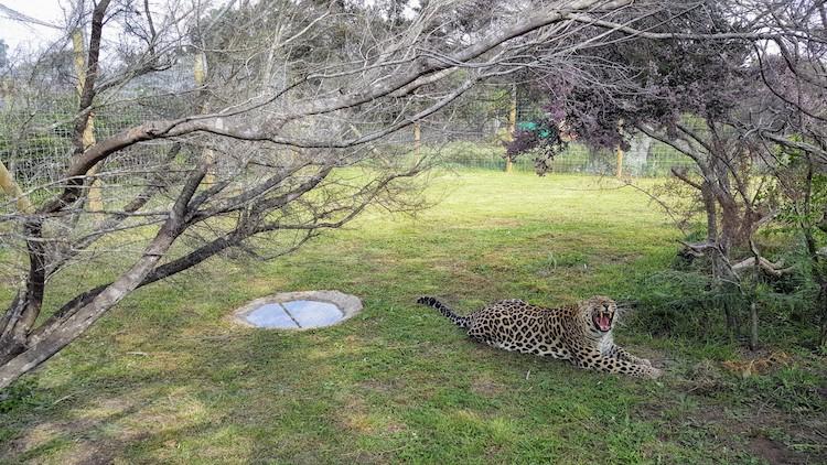 Leopard close picture