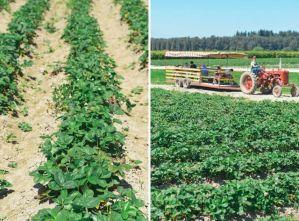 Biringer Farms Strawberry Fields Diptych