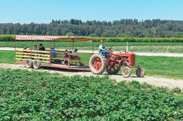 Tractor in Strawberry Field