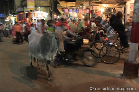 Varanasi cows in the street