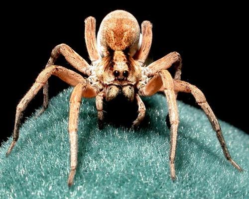 Wolf Spider (c) www.spyderwood.com