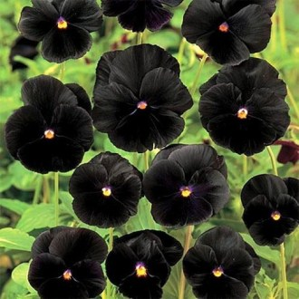 Viola x Wittrockiana Seeds   Clear Crystals Black Pansy Flower Seed Grown from Pansy seeds  these black Pansy flowers are an effective  attention getter