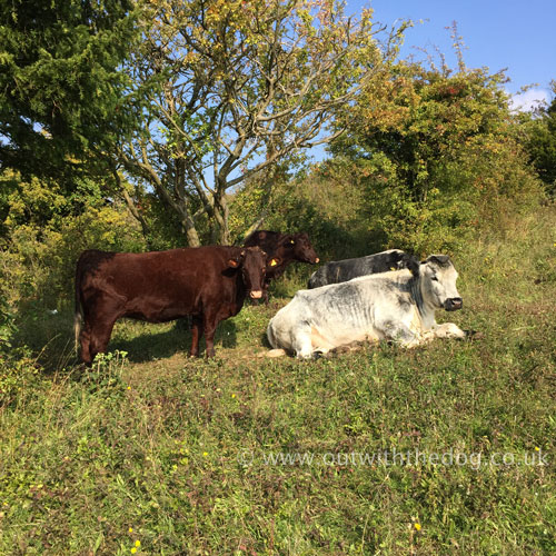Darland Banks Cows