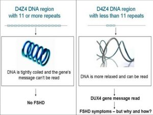 Kanker en FSHD inzichten