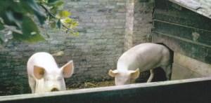 Vroeger hielden veel tuinders varkens