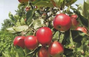 Deze 'historische' appel komt uit Zweden.
