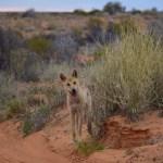 Dingo chasing us
