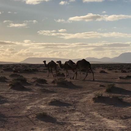 camels walking at hot spring camp 3:2020