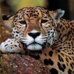 Big Cats – Why We Love Them