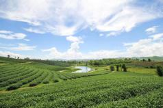 Thee plantages chiangrai