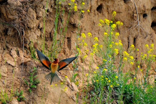 Bienenfresser an der Bruthohle Foto Salvatore Bologna
