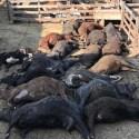 Milhares de cabeças de gado e frangos morrem na Argentina e Uruguai 4