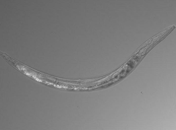 Descoberta nova espécie de vermes que têm três sexos diferentes