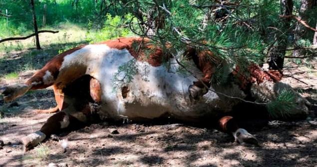 Teorias variam de oculto a OVNIs, depois que touros foram mortos e mutilados nos EUA