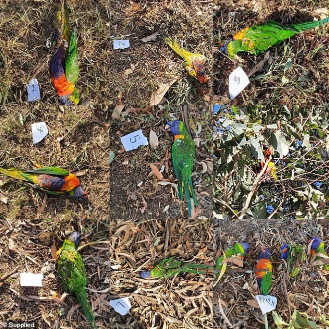 Centenas de pássaros lóris-arco-íris caem do céu na Austrália