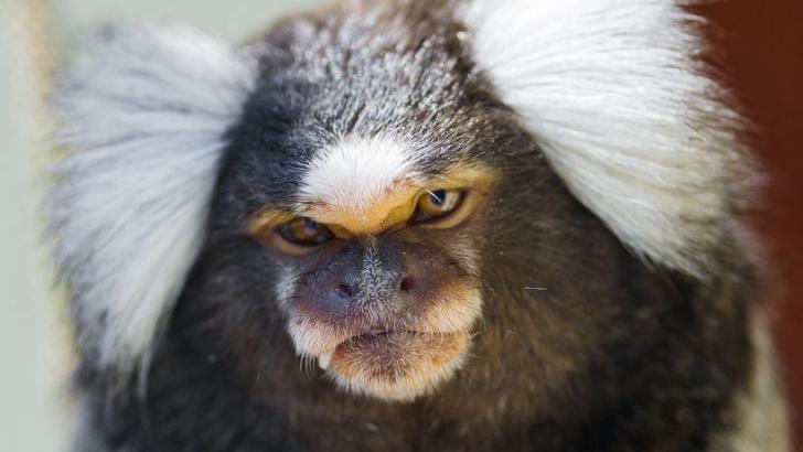 Cientistas usam genes humanos para criar primatas com cérebros maiores