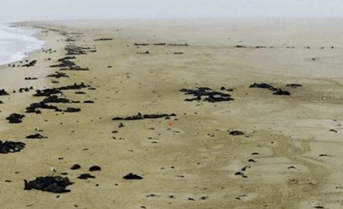 Mais de 5.000 filhotes de foca mortos são encontrados na Namíbia