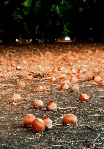Hazlenuts