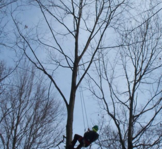 Climbing oak tree