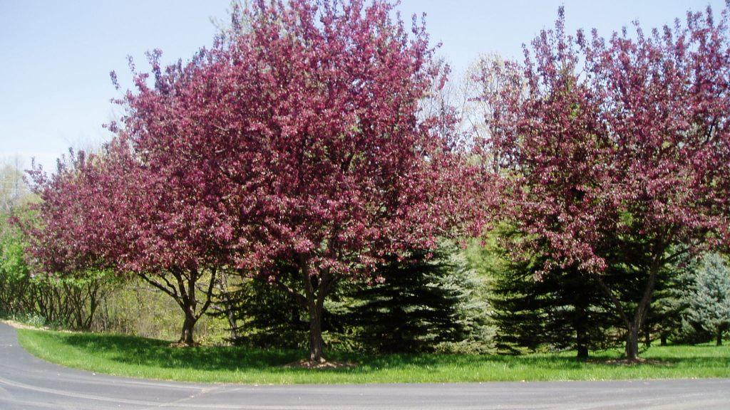 Crabapple-Spruce trees