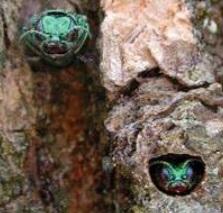 Emerald Ash Borer control