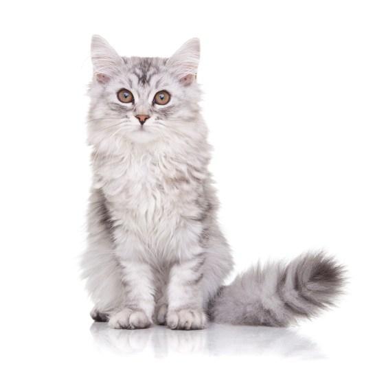 kitten Owiwi
