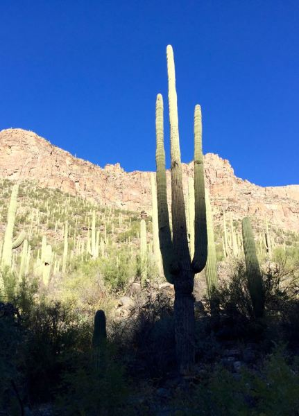 The stunning saguaro. They live for 150-200 years!