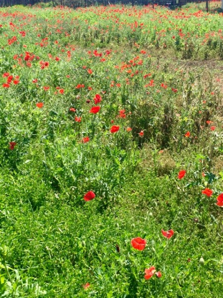 I do believe we are here at the peak of poppy season!