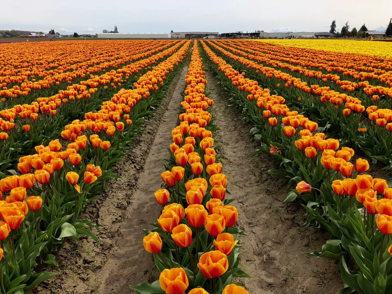 tulip festival – Own Less. Do More.