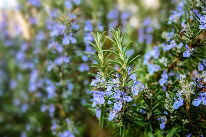 Plants that Repel Ticks: Top 10 Picks and Tricks! 2019: Own The Yard 16