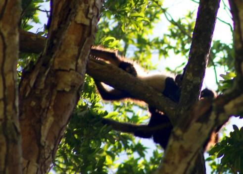 0128_SanCristobal_CanonDeSumidero_Die-Affen-in-den-Baeumen-zu-erkennen-und-zu-fotografieren-war-nicht-einfach