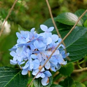 McLaren-Falls: Hier blühen die blauen Hortensien überall und zuhause war es immer ein Kampf, sie am blühen und in der Farbe zu halten. Die Natur ist hier so verschwenderisch - so schön!