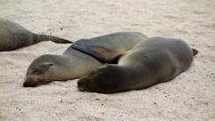 Galápagos, San Cristobal: Kuscheln an der Playa Man
