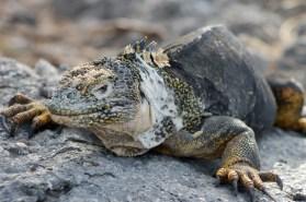 Galápagos, SouthPlaza: Ein Iguana in eindrucksvoller Pose und mit mächtigen Krallen. Gott sei Dank fressen die nur Grünzeug!