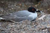 Galápagos, SouthPlaza: Die Galápagos Dove ist sehr schön an dem roten Augenring zu erkennen