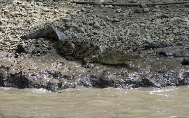 3250_SanCristobal_CanonDeSumidero_Krokodile-sonnen-sich-am-Ufer