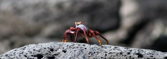 Galapagos, Santa Cruz, Tortuga Bay, Rote Klippenkrabbe