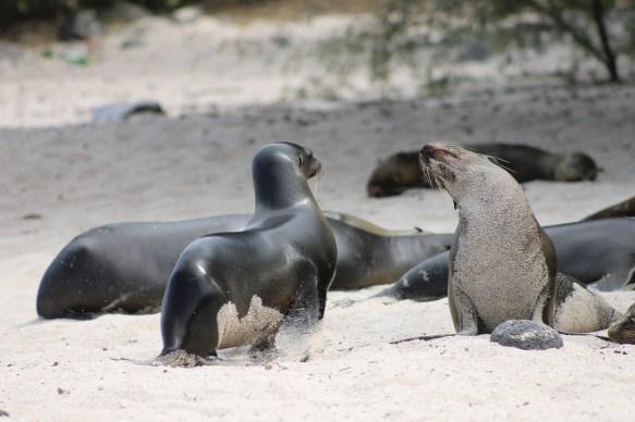 Galápagos, San Cristobal, Los Tijeretas: Seelöwen an der Playa Man
