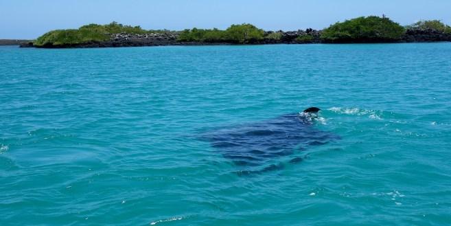 Galápagos, Santa Isabela, Tintoreros: Direkt vor uns fischt ein 4m Manta-Rochen nach Plankton und kleinen Fischen