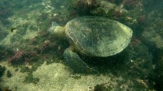 Galápagos, Santa Isabela, Tour Los Tuneles: Eine grüne Wasserschildkröte beim Fressen
