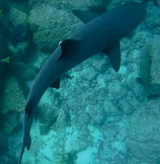 Galápagos, Santa Fe: Ein Weißspitzen-Riffhai zieht keinen Meter unter uns seine Runden